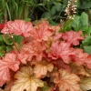 Heuchera Paprika in Spring