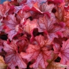 Heuchera Paprika in Summer