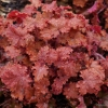 Heuchera Peach Crisp in late Spring
