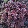 Heuchera Peach Crisp all frosty in Winter