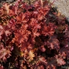 Heuchera Peach Crisp late Summer in our garden