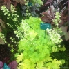 Heuchera Pear Crisp in our display at Rhs Hampton Court Flower show