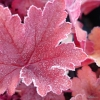 Heuchera Penelope in the frost