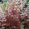 Heuchera Pink Pearls flowers for months!