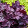 Heuchera Plum Royal in full sun in early Summer