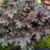 Heuchera Purple Petticoats in Summer