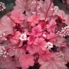 Heuchera Rio in Spring looking a bit pinkie here, they change depending on position.