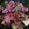 Heuchera Rio in Autumn still flowering