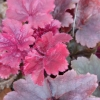 New foliage coming up in Spring on Heuchera Root Beer.
