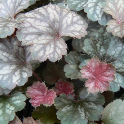 Heuchera 'Saturn'