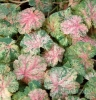 Heuchera Snowfire in Winter