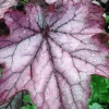 Heuchera Spellbound in Spring
