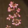 Heuchera Sweet Tart close up of the flowers
