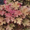 Heuchera Tangerine Wave in the early Spring