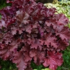 Heuchera Tangerine Wave in Autumn after a frost or two