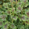 Heuchera Thomas in Spring just budding up