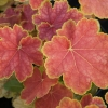 Heuchera Tiramisu close up in Spring