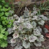 Heuchera Venus in our garden