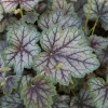 Heuchera Venus in Summer