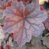 Heuchera walnut leaf in Summer close up