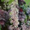 Heuchera Walnut flower late Summer