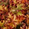 Heuchera Zipper close up of foliage.