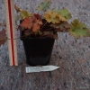 Heuchera Zipper sample of pot and plant that will be shipped