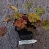 Heuchera Zipper Close up of sample plant we ship (as it looks in winter )