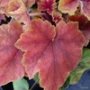 Heucherella 'Citrus Shock'