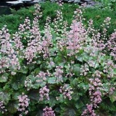 Heucherella 'Rosalie' alba