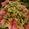 Heucherella Stop light with Winter colour.
