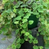 Tiarella Appalachian Trail is a true trailer or ground cover plant