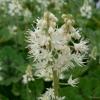 Tiarella Appalachian Trail close up of flower