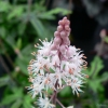 Tiarella Candy Striper close up of flower