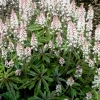 Tiarella 'Candy striper'