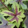 Tiarella Morning Star close up of leaf in Summer