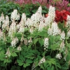 Tiarella Neon Lights in full flower