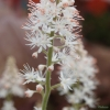 Tiarella Running Tiger close up of flower
