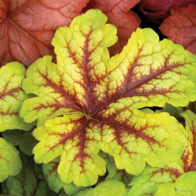 Heuchera, Heucherella & Tiarella x 10 mix all different - Suitable for shade