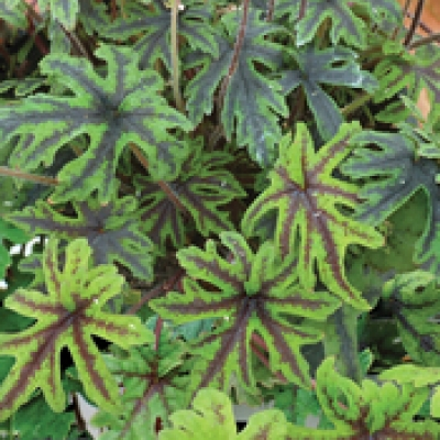 Tiarella x 6 mix all different - Suitable for shade