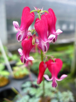 Dicentra 'Fire Cracker'