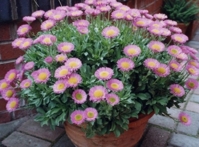 Erigeron 'Sea Breeze'
