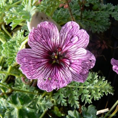 Geranium cinereum - ' Lawrence Flatman'