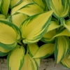 Hosta Remember Me close up