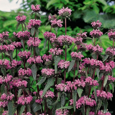 Phlomis 'Bronze Flamingo'