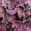 Heuchera  'Forever Purple' in Winter with frost on it.