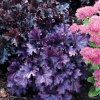 Heuchera 'Forever Purple' PBR