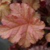 Heuchera Phoebes Blush in Spring foliage close up.