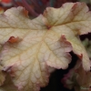 Heuchera Phoebes Blush foliage in the late Summer