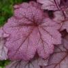 Close up of the leaf after the rain Heuchera Grape Soda